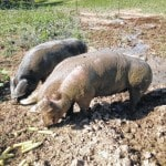 Wards Farms sells quality hogs