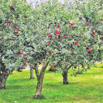 Home Orchards Step By Step