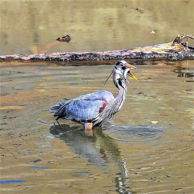 """With recent rains and fluctuating temperatures, southern Ohio's wildlife population adapts """"on the fly,"""" as it were, including grabbing lunch whenever it presents itself, as this heron did recently."""