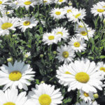 Shasta daisies sizzle in the landscape and containers too