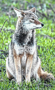 A photo of a wild coyote courtesy of the ODNR.